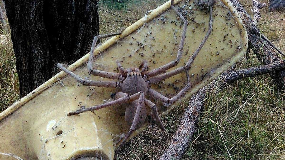 arana-gigante-australia2
